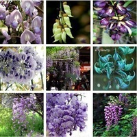 15 kinds purple Wisteria Flower Seeds ,10 pcs (oem package) Total 150 seeds,free shipping+DIY Home Garden or ur balcony