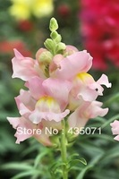 Heirloom 5500 Seeds/ bag  Antirrhinum majus Snapdragon Pink Garden Flower Bulk Seeds