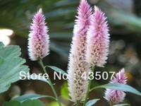 Heirloom 1000 Seeds / bag  Pyramid Flowers Plumosa Celosia Spicata Woolflower Flower Bulk Seeds