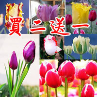Asian vegetable Tulip bulbs seeds bonsai flowers plants multicolor  Free shipping