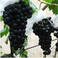 100 black grape seed rare colorful grape  fruit seeds Free shipping