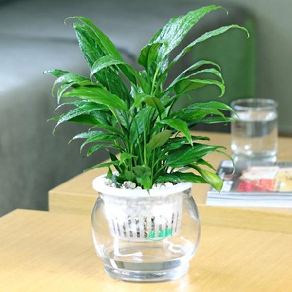 Water White For Palm Bonsai Indoor Hydroponic Plants Bonsai Flower Plant Set Desktop