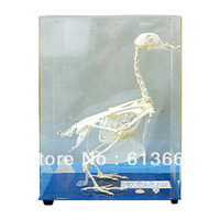 teaching and learning real animal pigeon skeleton specimen