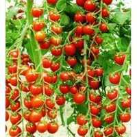 Free shipping 60pcs/lot red pear tomatoes vegetable seeds for DIY home garden