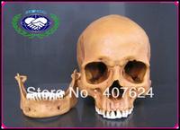Wholesale Yellow 1:1 Resin Human Skull Replica