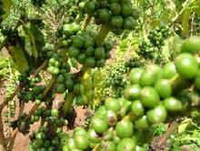 Tanzania Kilimanjaro mazar e sharif ROM AAAAA boutique Green Coffee Beans Manor Organic Raw Coffee Beans