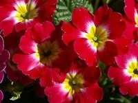 Free Shipping Petumia Petunia Seeds, Red Color Flower Seeds (Annual) (120 Seeds)SD1500-0204