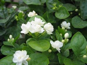 jasmine flower plant reviews online shopping reviews on. Black Bedroom Furniture Sets. Home Design Ideas