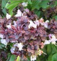 Free Shipping Basil Herb Seeds, Fresh Herb Seeds, 90%+Germination (40 Seeds)SD1546