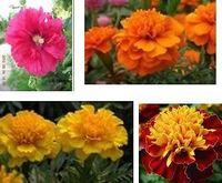 Free Shipping Maidenhair Flower Seeds, Fresh Mixed Colors Flower Seeds (70 Seeds)SD1500-0634