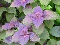 "Free Shipping ""Purple Leaf"" Basil Seeds, Fresh Herb Seeds, 90%+Germination (80 Seeds)SD1637"