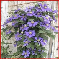 Agicoa plants and flowers clematis bonsai wire indoor flowers lotus  - one Seedling