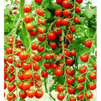 free shipping Vegetables fruits and seeds tomato skgs red cherry tomatoes seeds tomato balcony bonsai
