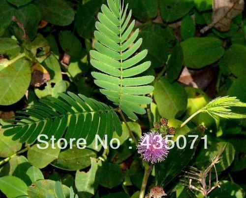 100grams approx.20000 seeds Mimosa Pudica Shy Sensitive Plant Pink Flower Garden Grass Bulk(Hong Kong)