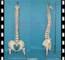 human body skeleton promotion