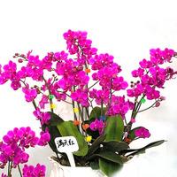 Fashion Unique Mix-Color Phalaenopsis Bonsai Beautiful Adorable Butterfly Orchid Flower Seeds Elegant Flower Plant HG-05552