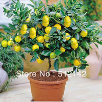 30 pieces Lemon Tree Seeds, High survival Rate Fruit Tree Seeds For Home Gatden Backyard !