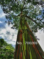 Wholesale - 100 Eucalyptus deglupta Seeds. rainbow eucalyptus, Mindanao gum, .rainbow gum  free shipping