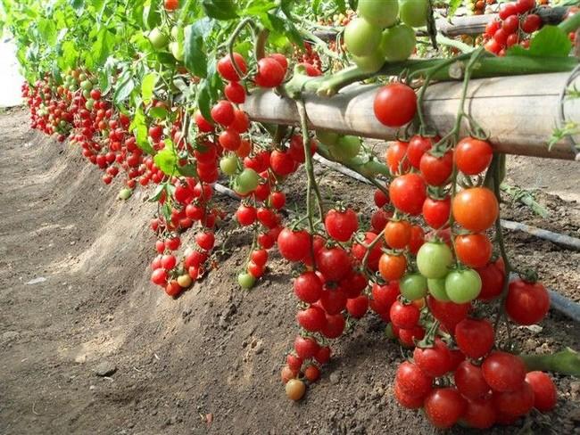 Mix Mini $5 50pcs Fruit Cherry Tomato Seeds, Original Package Mini Tomato Seeds Four Seasons DIY HOME PLANT Bonsai Fruit Seeds(China (Mainland))