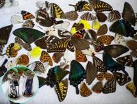 20pcs real butterfly wings,3D Butterfly specimens wings,Real Dried Moth butterflies wings for ring/earrings/necklace