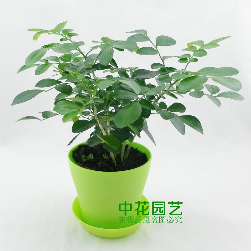 Paniculata bonsai images - Common indoor plants ...