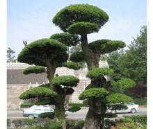 wholesale ash tree