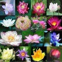 20pcs lotus flower seed 10 colors lotus seeds bonsai Gorgeous Aquatic Plant DIY home garden lotus flower plants free shipping