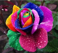 100 Seeds Rare Holland Rainbow Rose Flower Seed To Your Lover