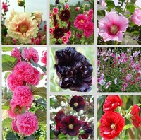 30pcs/bag mixed color hollyhock seeds for DIY home garden