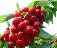 10pcs/lot free shipping cherry seeds for DIY home garden