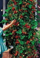 Fruit seeds balcony bulk fruit and vegetable four seasons strawberry 20