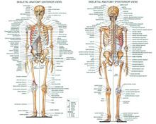 p0081 corpo humano sistema esquelético cartaz grande projeto 24x30 polegadas corpo humano anatômicas gráfico cartaz(China (Mainland))
