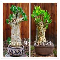Tylecodon paniculata Seeds 10pcs Bonsai Succulent Plants Free Shipping