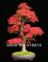 40 Mini Beautiful Japanese Red Maple Bonsai Seeds,JAPAN MAPLE NEW SEEDS , Japanese Maple Tree Seeds