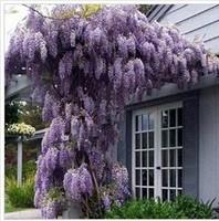 35 Pcs/bag Hot Selling Purple Wisteria Flower Seeds for DIY Home Garden