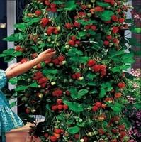 200 Pcs Climbing Strawberry Seeds DIY Home Garden Free Shipping
