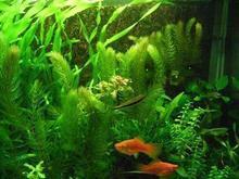 popular pet goldfish