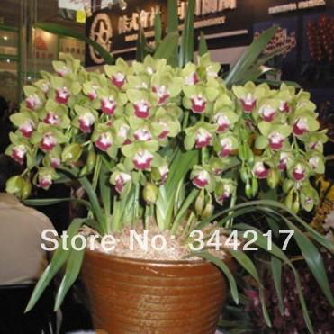 Free shippinge Bonsai flowers orchid cicada cymbidium 10 seeds(China (Mainland))