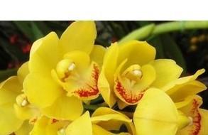 200pcs yellow Cymbidium seeds orchid seeds bonsai seeds DIY home garden free shipping(China (Mainland))