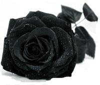 $2 off per $7 100 Rose Seeds China Rare Black Rose Flower Seeds Rose Flower Pots Planters 2014 DIY Home Bonsai Flowers Seeds