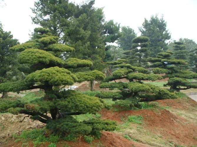 40 Pcs/lot GARDEN BONSAI TREE SEEDS White Pine Podo Carpus Tree Seeds ,  Evergreen Shrubs Plant Seeds Free Shipping