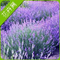 1 Packs 20 Seeds Lavender Flower Herb Seeds