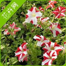 wholesale petunias flower
