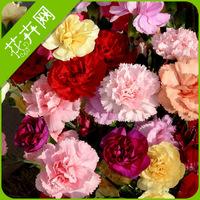 1 Packs 30 Seeds Mixed Color Carnation Flower Seeds