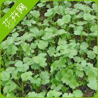 1 Pack 150 Seeds Coriander Seeds