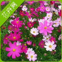 1 Packs 50 Seeds Cosmos Bipinnatus Flower Seed
