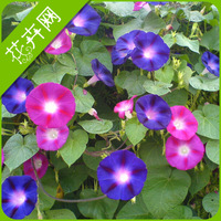 1 Packs 20 Seed Mix Color Big Morning Glory Flower