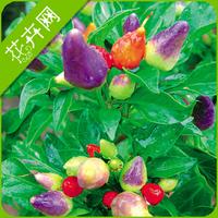 1 Packs 30 seeds Colorful Ornamental Pepper Seeds