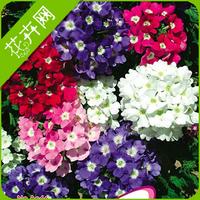 1 Pack 50 Seed Mix Color Verbena Flower Seed