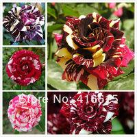 250 New Rose Seeds,5 Different Colors Rare Cream Rose ,Light Fragrance,Novelty Colouring Of Burgundy Rose Flower Seeds,+ Gift